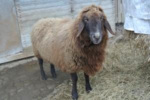 Schafe_4