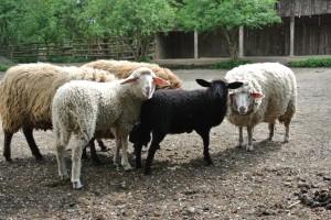 alle Schafe