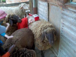 Großenzeit bei den Schafen